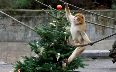 A Barbary macaques plays with leftover Christmas tree in the Tierpark Zoo in Berlin