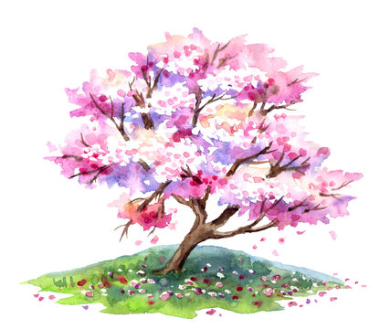 Sakura blooming, cherry tree with pink flowers in spring, watercolor painting on white background, isolated with clipping path.