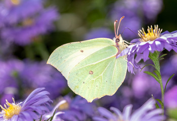 Gonepteryx rhamni - common brimstone butterfly with an aster
