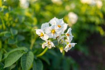 Potato blossoms