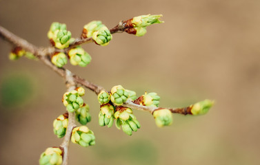 spring buds on trees