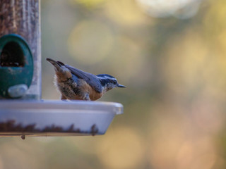 An unsuspecting Red-breasted Nuthatch is photographed while visiting a birdfeeder