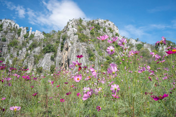 Cosmos Flower Garden Thung Siri