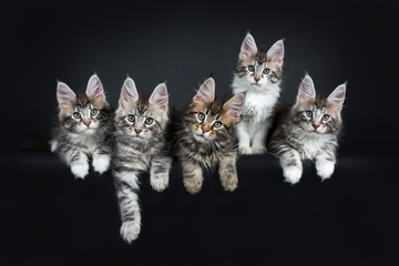 Perfect row of five gorgeous Maine Coon cat kittens sitting and laying beside eachother. All looking straight at camera with green blue eyes. Isolated on black background.