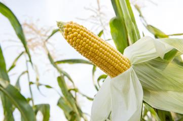 Corn farm.  A selective focus picture of corn cob in organic corn field