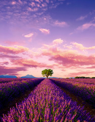 Tree in lavender field at sunset in Provence