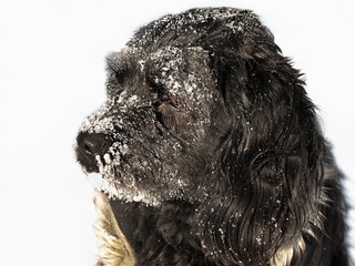 Dog covered with snow on winter day, close up