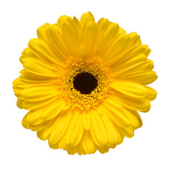 Yellow gerbera flower isolated on white background. Flat lay, top view