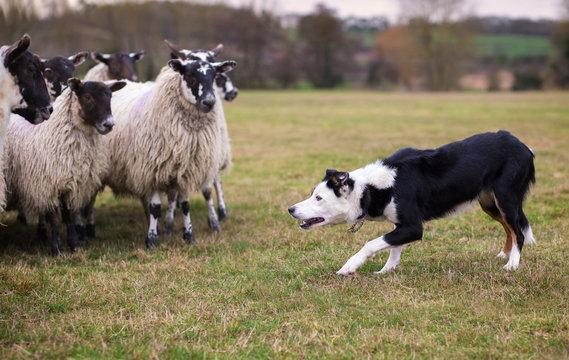 Border collie sheepdog stalking a flock of ewes