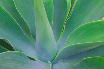 Close up of big succulents leaves. Beautiful abstract succulent plant background. Modern macro nature image. Wall mural