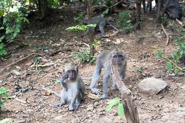 Balinese monkeys family (macaca fascicularis) in jungle