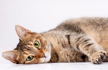 Pet animal; cute cat indoor. Cute kitten cat.