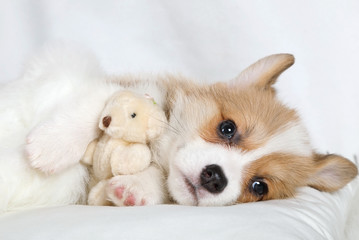Purebred Welsh Corgi Pembroke puppy with his toy Teddy bear