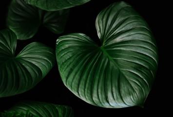 Dark green leaves of rainforest