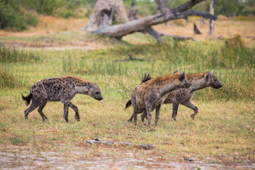 A trio of hyenas in the Moremi Game Reserve in Botswana