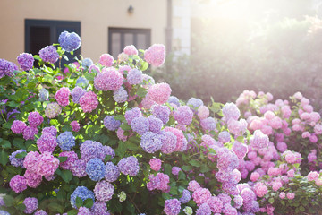 Fotomurales - Hydrangea garden by house at sunset. Bushes is pink, blue, lilac, purple. Flowers are blooming in street in spring and summer outdoor.