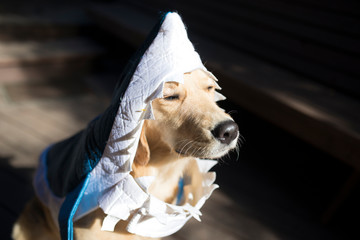 Close-up of dog wearing shark suit standing on floorboard during Halloween