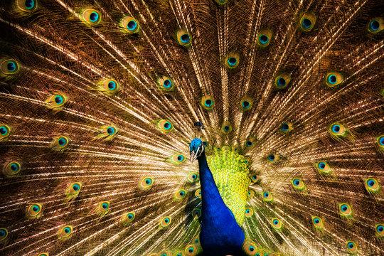 colorful peacock at the Magnolia plantation in Charleston South Carolina