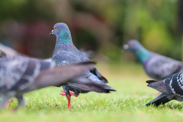 Close up Portrait of rock dove on green grass