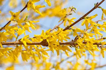 Blühende Forsythien, Forsythia, im Frühling