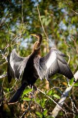 EVERGLADES NATIONAL PARK, FL: The Anhinga (anhinga anhinga), also known as a snakebird.
