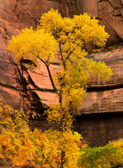 Fall color in the Temple of Sinawava, Zion National Park Utah.
