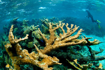 Jardines de la Reina, Cuba: Example of Elkhorn (Acropora palmata) coral.