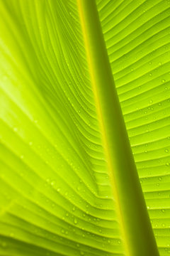 Waterdrops on a banana leaf after a short rain burst in the Andes Mountains, Peru.