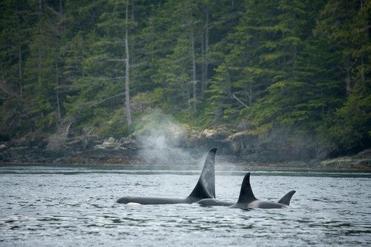 Orcas surfacing near Johnstone Straight, British Columbia, Canada