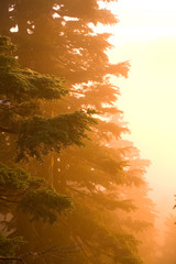 Scenic image of tree branches at sunset in Mt. Rainier National park, WA.