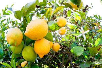 Saticoy, California, Lemon Farm: Detail of lemons.