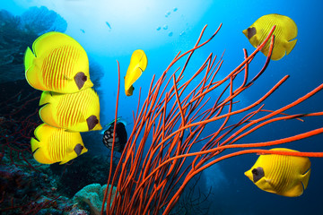 Wall Murals Coral reefs Underwater image of coral reef and School of Masked Butterfly Fish
