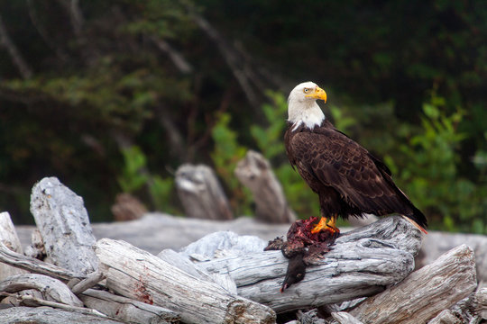 Olympic National Park, Washington: Bald eagle with prey in talons on Ruby Beach.