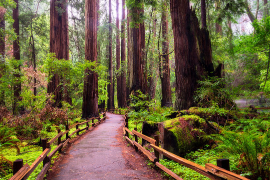 The main loop trail, Muir Woods National Monument north of San Fransisco CA.