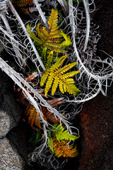 VOLCANOES NATIONAL PARK, HAWAII: Detail of ferns and roots on hardened lava beds.