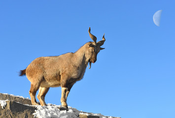 Markhor (Capra falconeri), male, on background of moon in winter