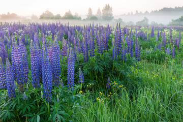 Field with blue lupine flowers at the morning