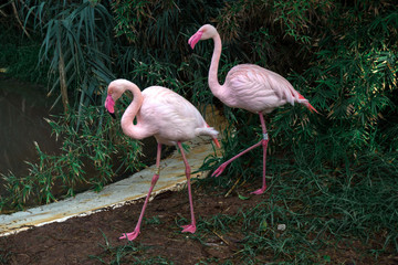 Pink flamingos in the evening near the water in the summer