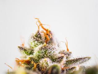 Marijuana Plant Bud Macro Close Up Trichomes