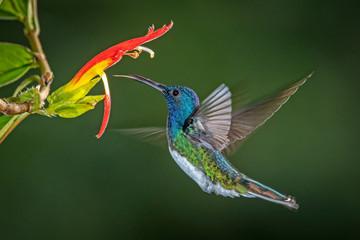 White-necked jacobin hummingbird in flight