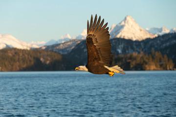 American Bald Eagle in Homer Alaska, USA
