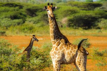 Mother Giraffe guides baby