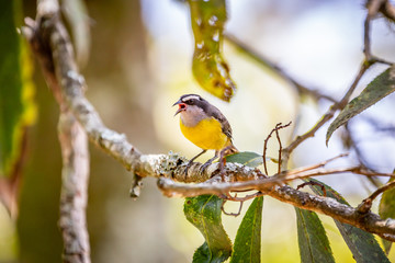 Bananaquits (Coereba Flaveola) bird standing on a tree in Brazil's countryside