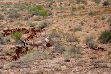 Desert Pronghorn
