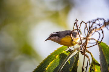 Bananaquits (Coereba Flaveola) AKA Cambacica bird standing on a tree in Brazil's countryside