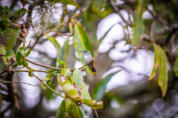 Sombre hummingbird (Aphantochroa cirrochloris) AKA Beija-Flor Cinza standing in a tree in Brazil