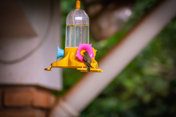 Sombre Hummingbird (Aphantochroa cirrochloris) feeding on a feeder in Brazil coutryside.