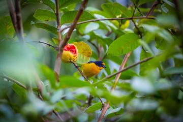 Purple-throated Euphonia (Euphonia chlorotica) AKA Fim Fim bird eating guava in Brazil's countryside