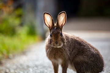 A wild rabbit with backlit ears staring forward in Olympic National Park, Washington State