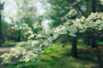 white dogwood flowers on a branch in the woods